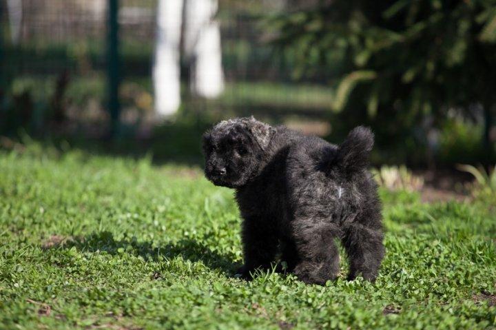 Flamandų Buvjė - šuniukas