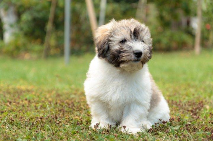 Tulearo Bišonas - šuniukas