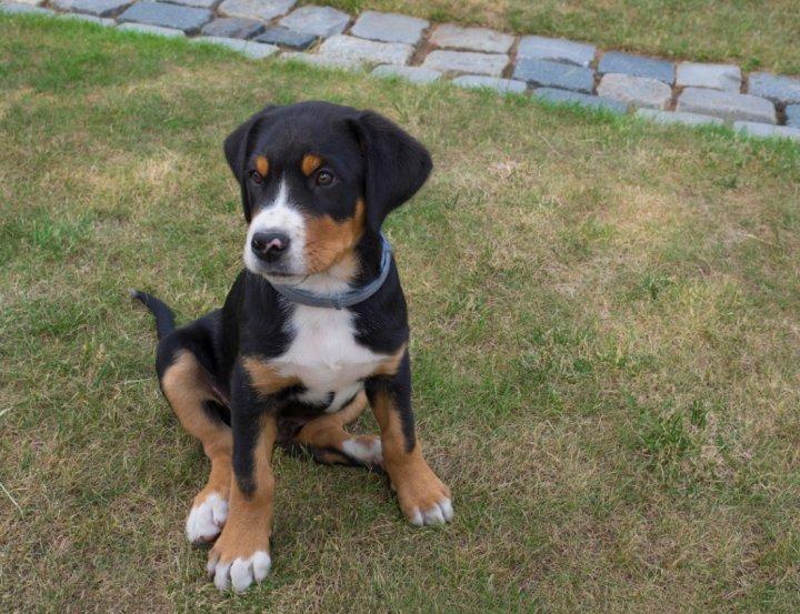 Didysis Šveicarų Zenenhundas - šuniukas