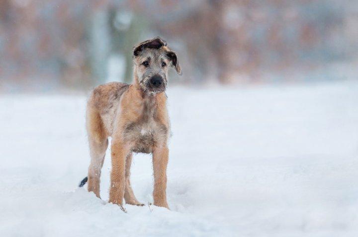 Airių vilkogaudis - šuniukas