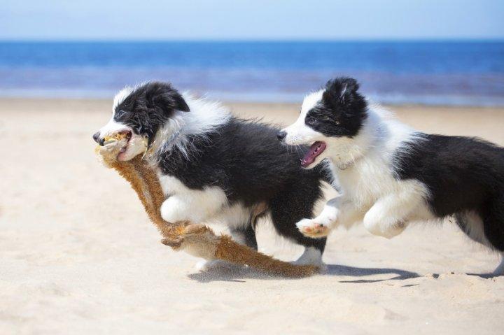 Borderkolis - šuniukas