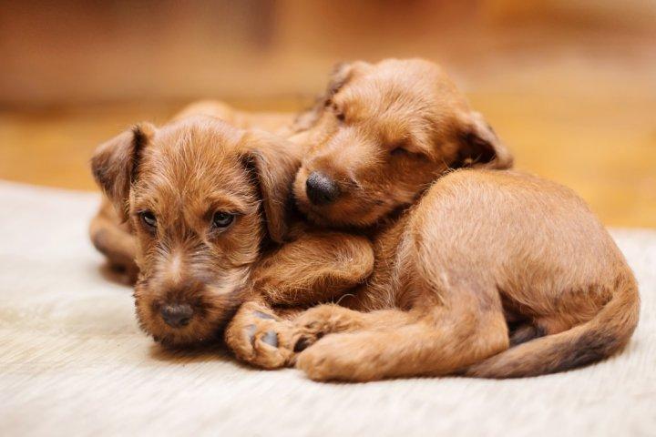 Airių terjeras - šuniukas
