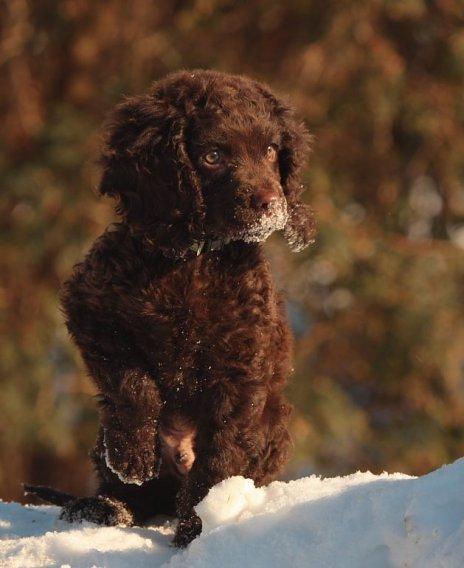 Amerikiečių vandens spanielis - šuniukas