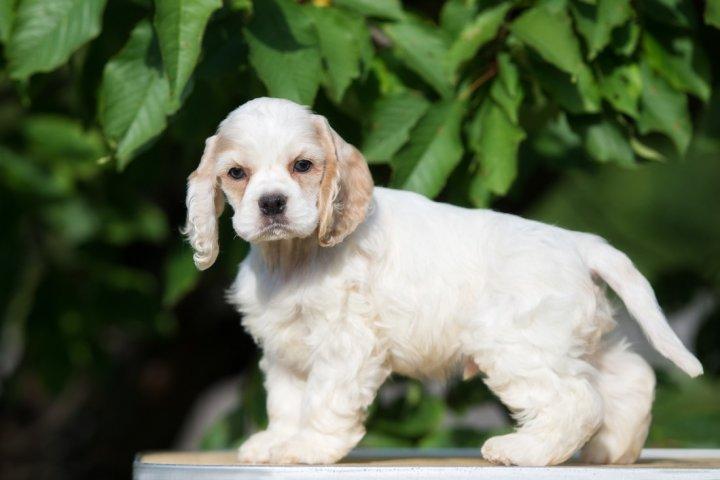 Amerikiečių kokerspanielis - šuniukas