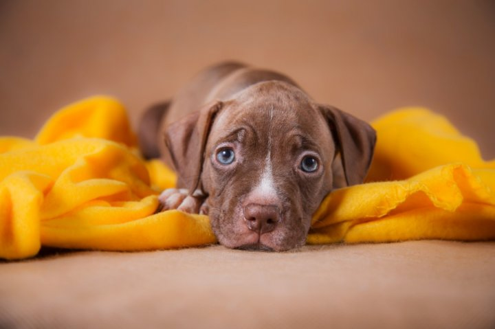 Amerikiečių pitbulterjeras - šuniukas