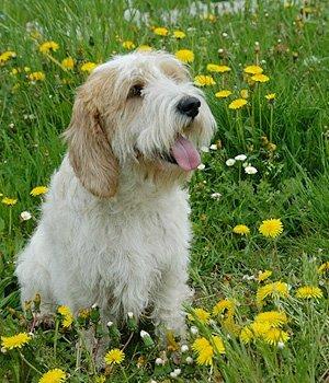 Vandėjos Vidutinysis Grifonas - šuniukas