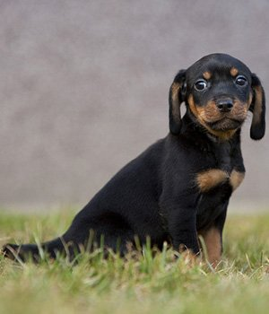 Austrijos juodas su įrudžiu skalikas - šuniukas