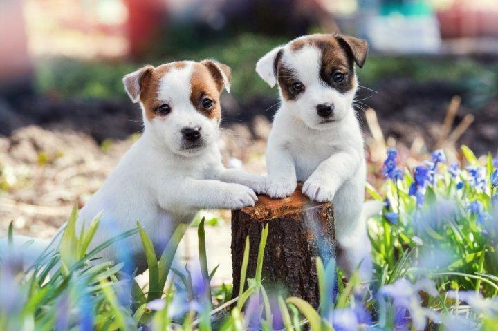 Džeko Raselo terjeras - šuniukas