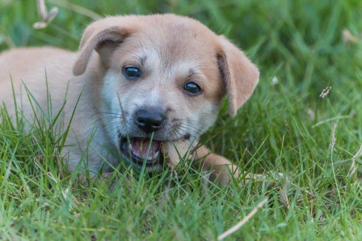 Burbonų Brakas - šuniukas