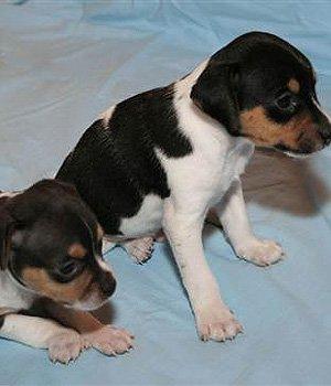 Brazilų Terjeras - šuniukas