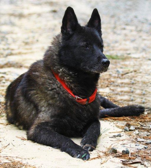 Norvegų juodasis elkhundas - nuotrauka