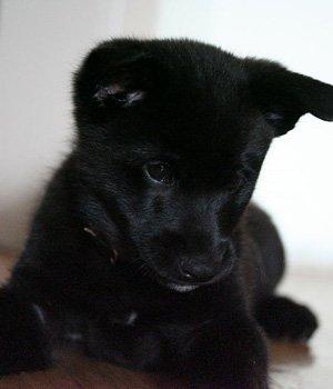 Norvegų juodasis elkhundas - šuniukas