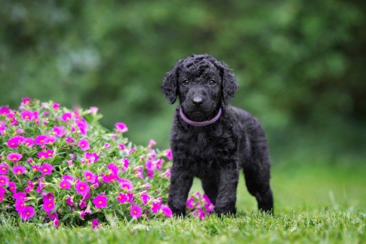 Garbanotasis retriveris - šuniukas