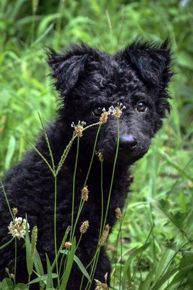 Kroatų aviganis - šuniukas