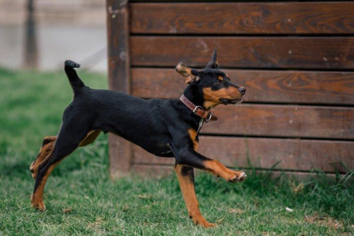 Transilvanijos skalikas - šuniukas