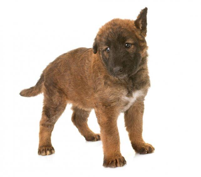 Belgų aviganis Laekenois - šuniukas