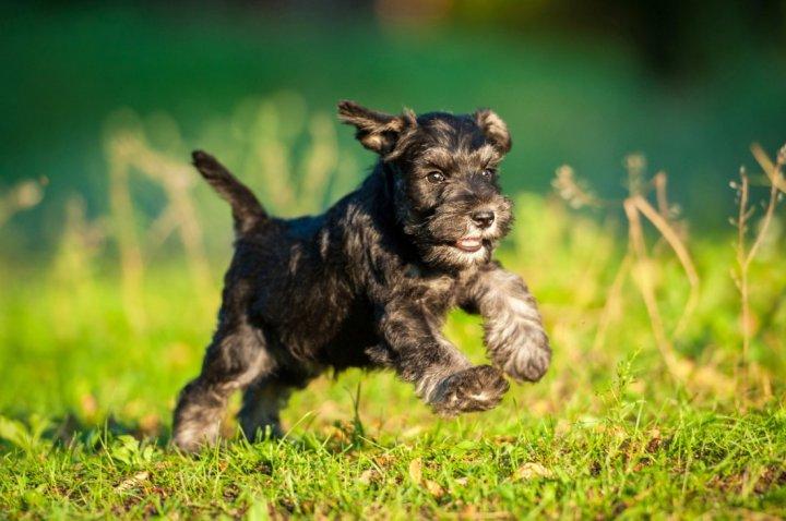Cvergšnauceris - šuniukas
