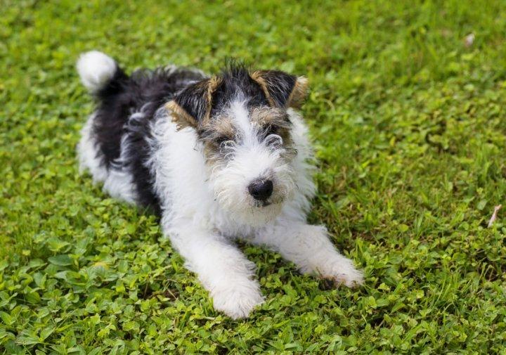 Šiurkščiaplaukis foksterjeras - šuniukas