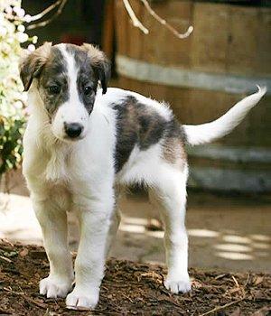 Silken Windhound - šuniukas