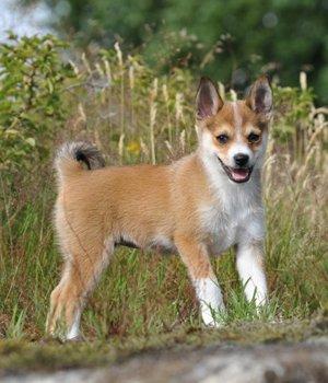 Norvegų lundehundas - šuniukas