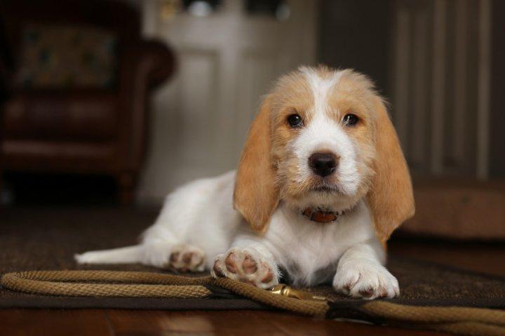Vandėjos Mažasis grifonas basetas - šuniukas