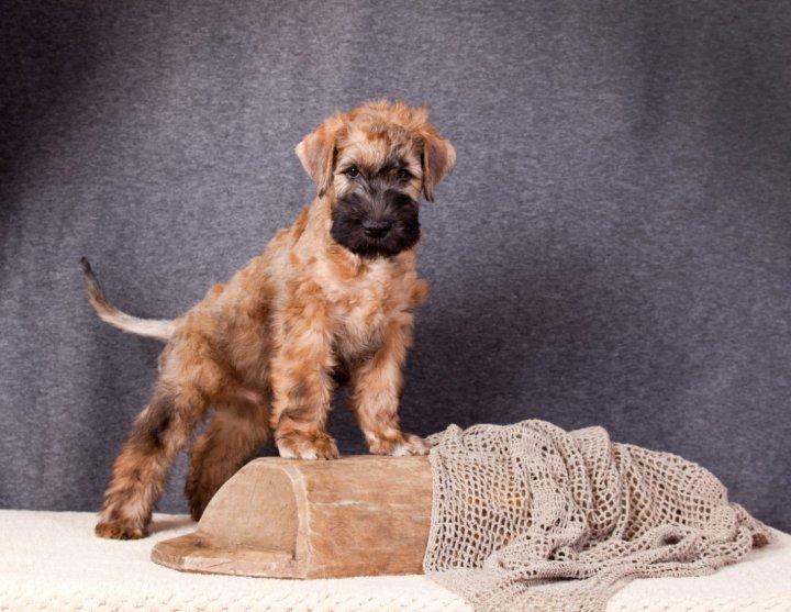 Kviečiaspalvis švelniaplaukis terjeras - šuniukas
