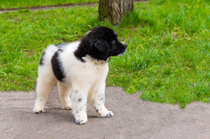 Bulgarijos aviganis (karakačanas) - šuniukas