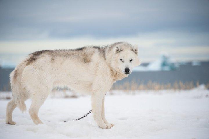 Grenlandijos šuo - nuotrauka
