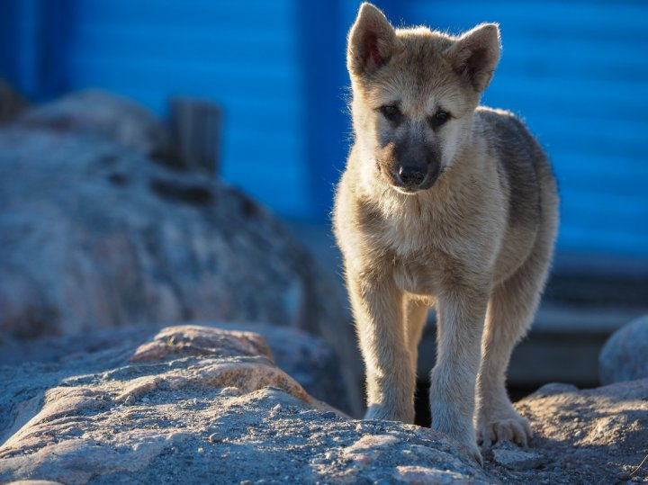 Grenlandijos šuo - šuniukas