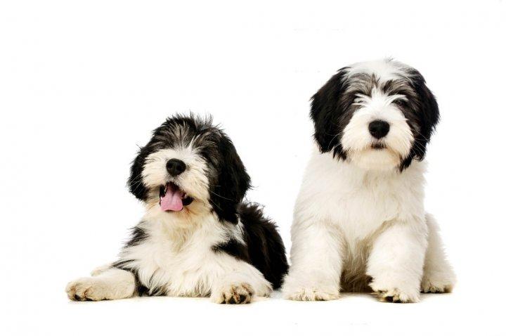 Lenkų žemumų aviganis - šuniukas