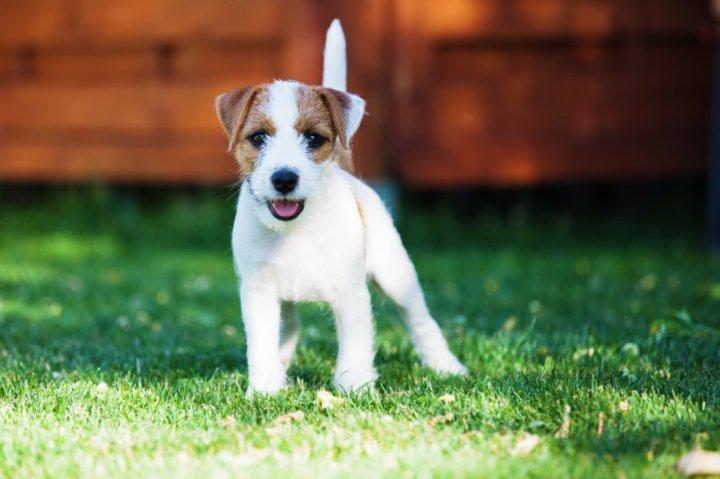 Parsono Raselo terjeras - šuniukas