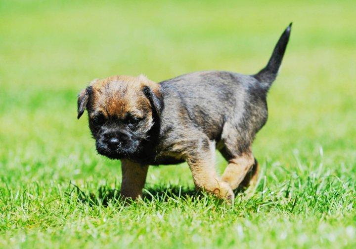 Border terjeras - šuniukas