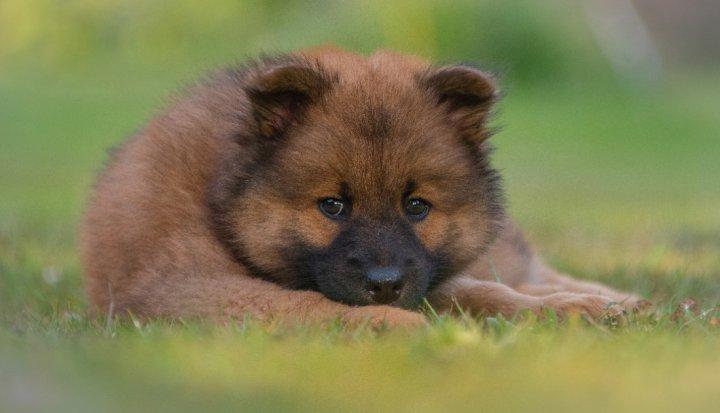Eurazijos špicas - šuniukas