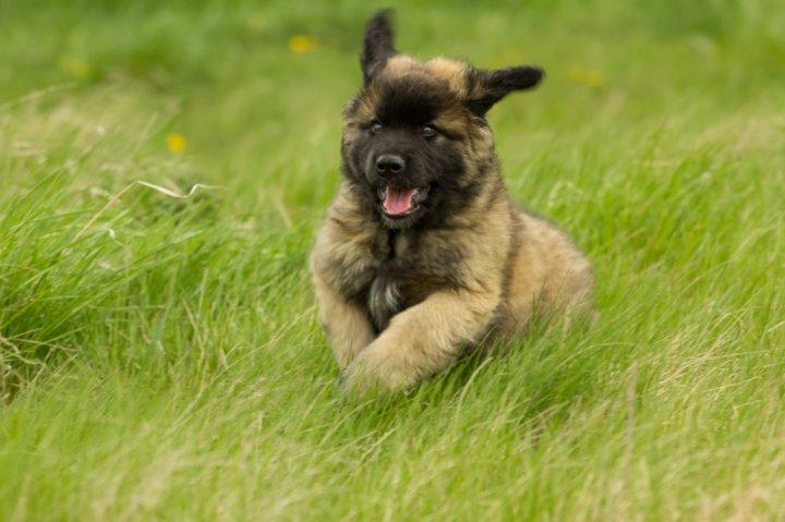 Leonbergeris - šuniukas
