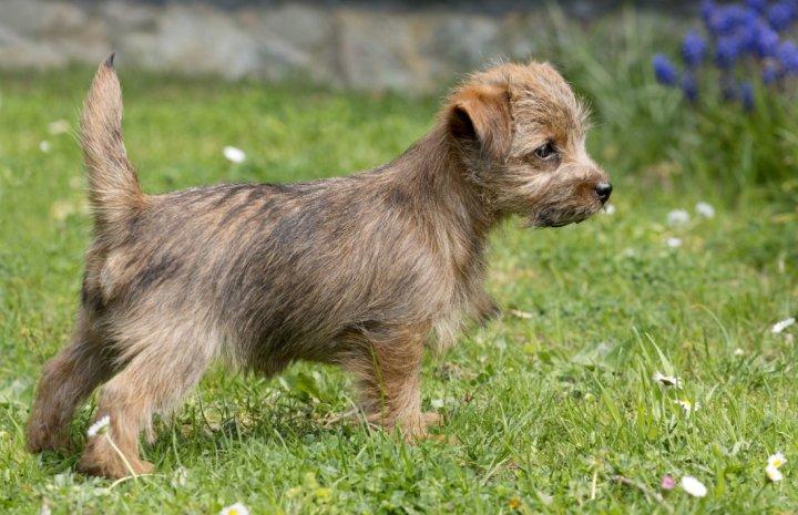 Norfolko terjeras - šuniukas
