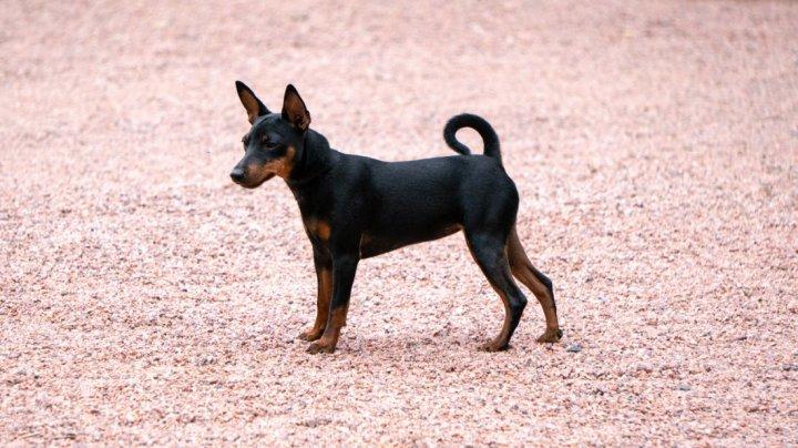 Mančesterio toiterjeras - šuniukas