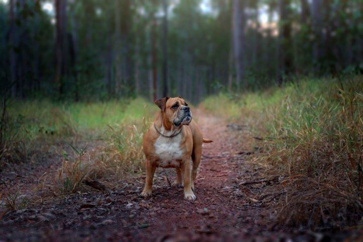 Australijos buldogas - nuotrauka