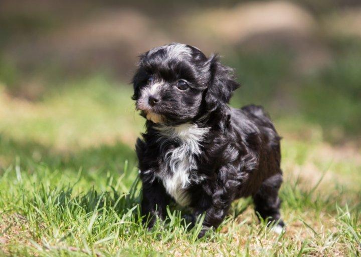Havanos bišonas - šuniukas