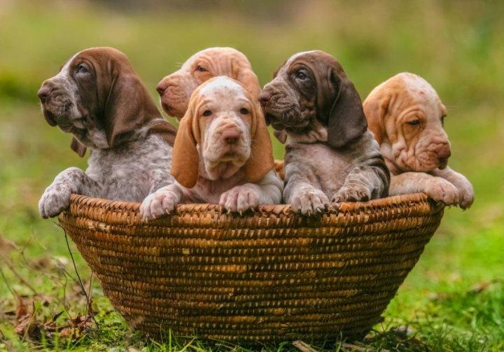 Italų pointeris - šuniukas