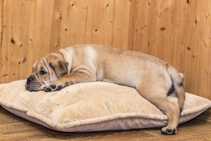 Maljorkos buldogas - šuniukas