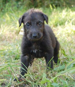 Škotų dirhaundas - šuniukas