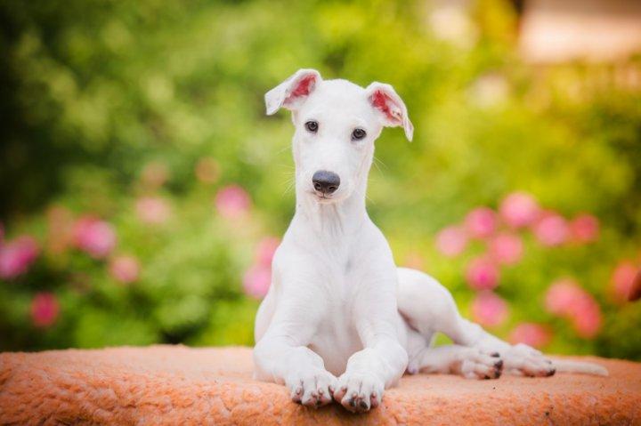 Greihaundas - šuniukas