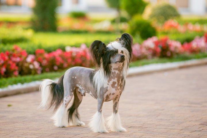 Kinų kuoduotasis šuo - nuotrauka