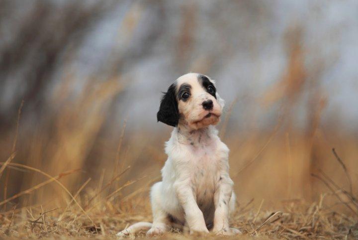 Anglų seteris - šuniukas