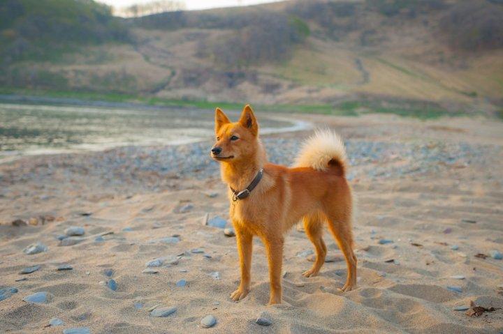 Karelų lokinis šuo - nuotrauka