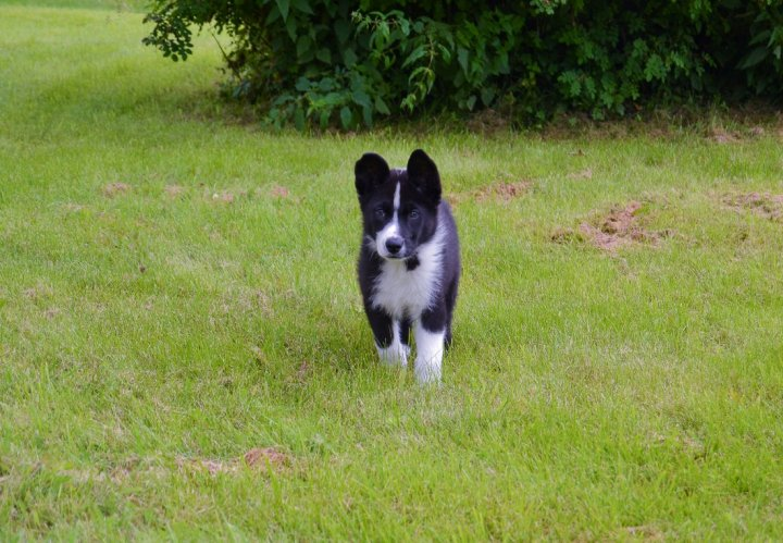 Karelų lokinis šuo - šuniukas