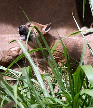 Naujosios Gvinėjos dainuojantis šuo - šuniukas