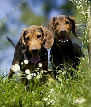 Serbų skalikas - šuniukas