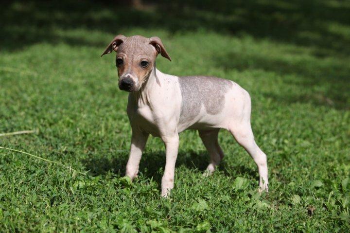 Amerikiečių Plikasis Terjeras - šuniukas