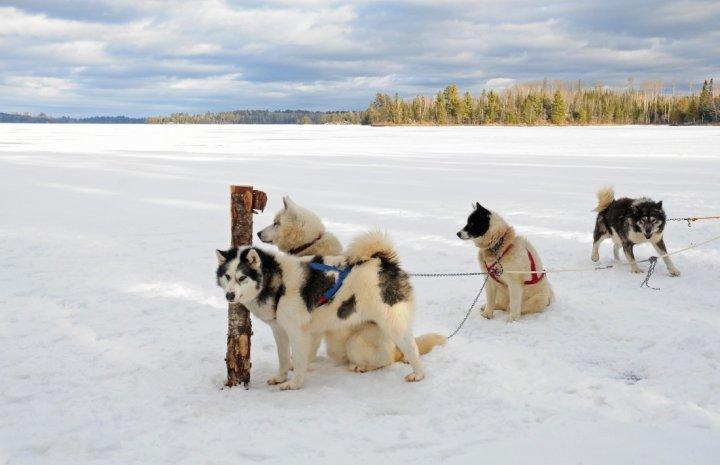 Kanados Eskimų šuo - nuotrauka
